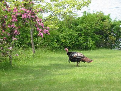 Wild turkey on lawn (May 2012)