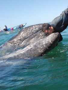 Spring brings the Ca Grey whales to spawn along the pacific bays.Come touch them