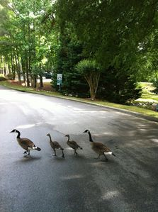 Mr. & Mrs. Goose with goslings imitating the Beatles on Abbey Road!