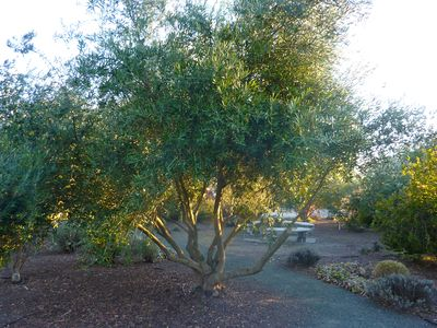 We make olive oil from the olive trees around the garden.