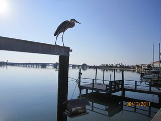 St Pete Beach house photo - Our friendly Heron named George awaits his next meal perched above the dock.