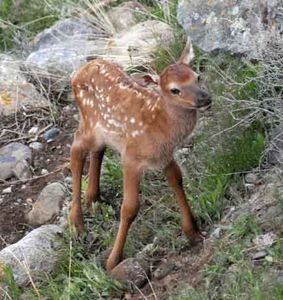 An elk calf - born right on our property - I took the photo out our windows!