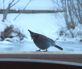 Pagosa Springs cabin photo - Stellar Jay resting on the deck