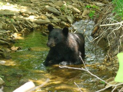 Bear cub at Cades Cove.