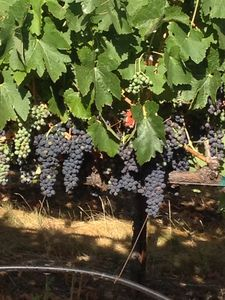 Our Grapes - Syrah, Grenache and Malbec