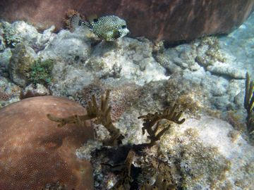 Trunk Fish in Caymanease Reefs