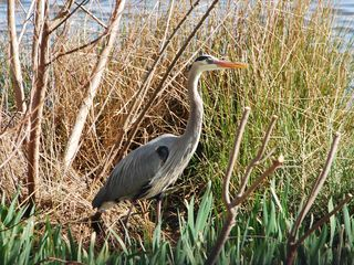 Cape Charles condo photo - Amazing Herons!