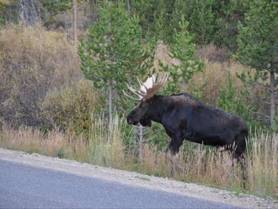 Bull Moose crossing Yale Kilgore road 5 minutes from cabin