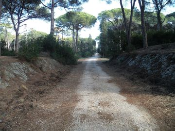 Bicycle path through the pinewoods