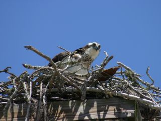 Panama City townhome photo - Large Osprey nest at the end of the street.