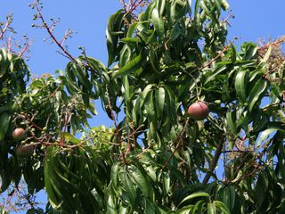 Vacation Homes in Marco Island house photo - Mango tree. Fresh lemons, grapefruits and bananas are also available for you