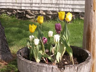 Wells cottage photo - Tub of Tulips