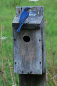 Bluebird atop his family's home