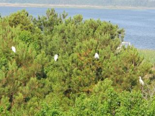 Virginia Beach farmhouse photo - Egrets decided to stay awhile!!