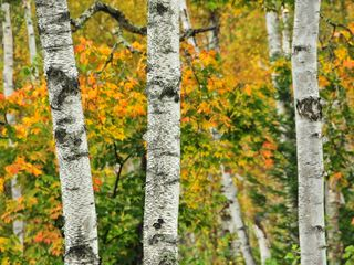 Rangeley Lake cabin photo - Birches, fall foliage