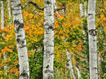 Birches, fall foliage