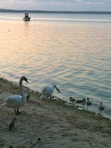 Our resident geese with their goslings at our beach at sunset.