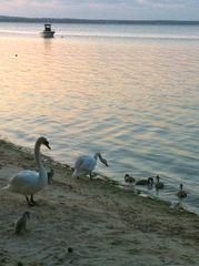 Sag Harbor cottage photo - Our resident geese with their goslings at our beach at sunset.