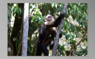 Manuel Antonio house photo - Capucin monkey at Jungle Roost