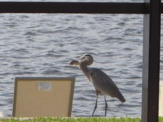 Cape Coral villa photo - Compete with the local wildlife for the fishing.