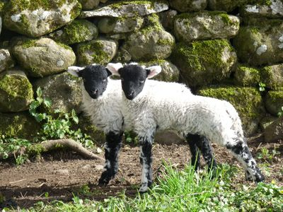Our pet lambs