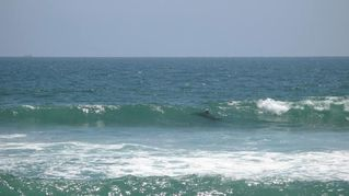 Newport Beach house photo - Dolphins playing in the surf