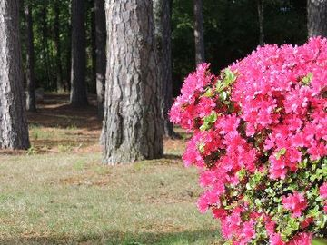We love the tall pines and the Azalea in the spring