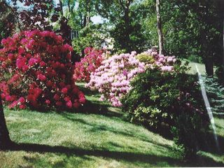 East Falmouth bungalow photo - Our rhododendrons