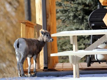 Baby Big Horn Sheep-By Brandi Nichols