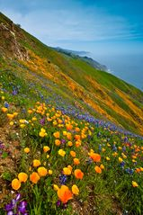 Big Sur house photo - Bonus: Poppies in the Big Sur hills the spring after the Big Fire.