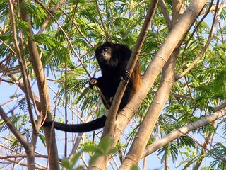 Playa Flamingo villa photo - howler monkeys abound in the surrounding forest