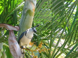 Playa del Coco condo photo - Another curious friend, a magnificient blue jay