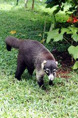 Montezuma villa photo - A coatimundi may stop by to see if you have any extra bananas.