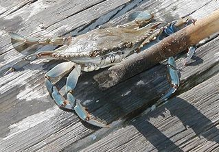 Chincoteague Island house photo - Blue Claw Crab caught by the Spinnaker Dock