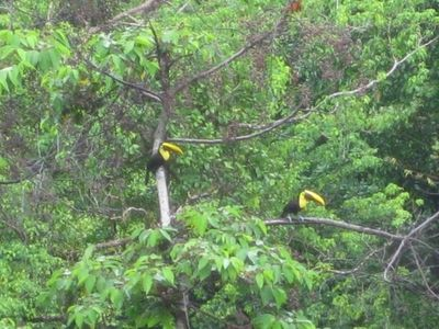 Toucans are a frequent sight