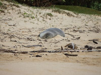 Hawaii Monk Seal lounging on the beach.