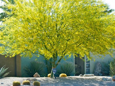 Palo verde tree in full Spring bloom in the front yard.