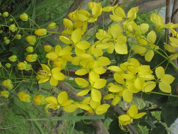FLOWERS OF ST. LUCIA