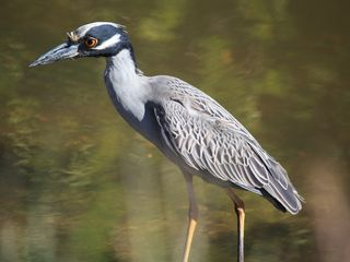 Sanibel Island condo photo - Yellow Crowned Night Heron-Ding Darling Wildlife Refuge