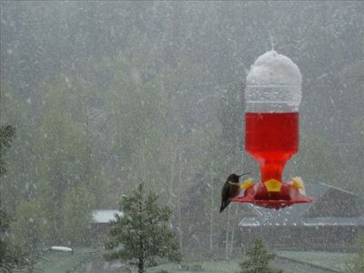 Hummingbirds are Everywhere in the Summertime.....even if it SNOWS!