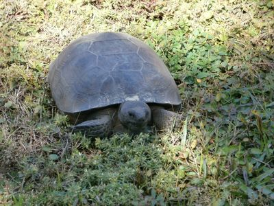 Gopher Tortoise having lunch in the back yard.