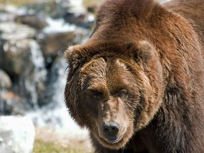 West Yellowstone house rental - Some of the amazing animals you can visit at the Bear & Wolf Discovery Center