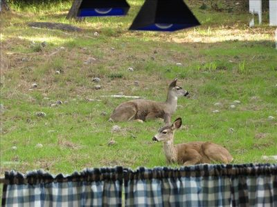 Deer relaxing just outside the kitchen window.