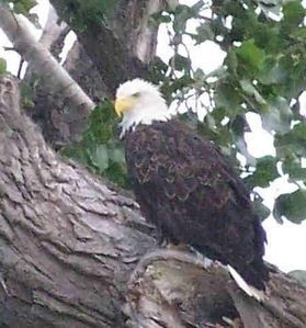 One of the many eagles on the Sandusky River
