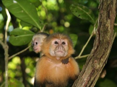 White-faced capuchin monkey and her baby in Manuel Antonio National Park