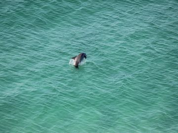 Dolphin playing in the Gulf - as seen from our balcony!
