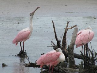 Fort Myers Beach condo photo - Spoonbills in the lagoon