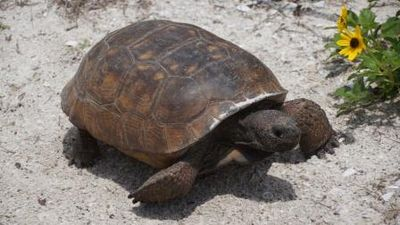 Endangered Gopher Tortoise