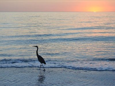 Great blue heron at sunset (on the beach)
