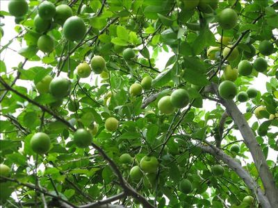 The lime tree in the garden gives zest to margaritas